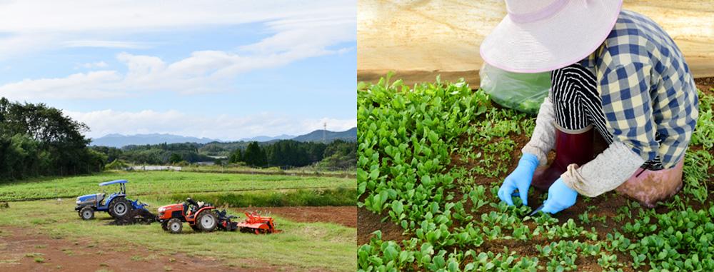自社農園での収穫